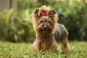 Photo of Yukie, a Yorkshire terrier, all dolled up and pretty.