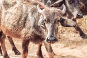 Travel Photo Of Water Buffalos